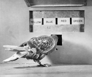Psychological experiment with pigeons by B.F. Skinner.